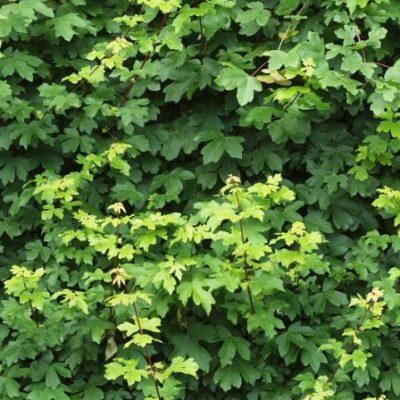 Acer-campestre-