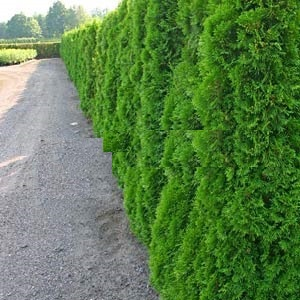 thuja occidentalis 39 smaragd 39 westerse levensboom online tuincentrum. Black Bedroom Furniture Sets. Home Design Ideas