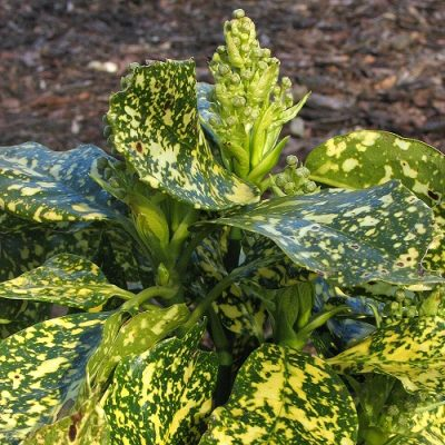 Aucuba-japonica-crotonifolia