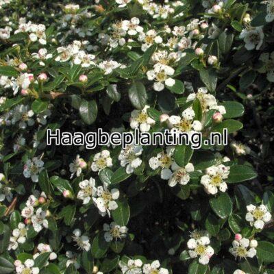Vakbeplanting /Cotoneaster /Lonicera