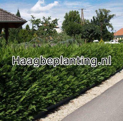 Coniferen Hagen