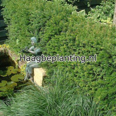 Taxus Hagen