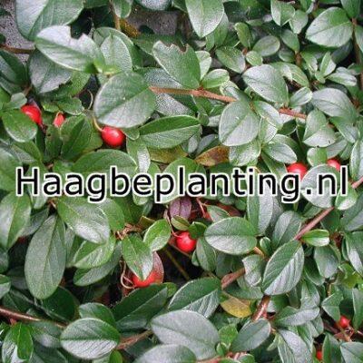 Cotoneaster salicifolius 39 green carpet 39 dwergmispel online tuincentrum - Cotoneaster dammeri green carpet ...