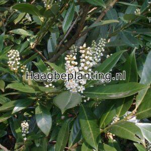 Prunus / Laurier Hagen