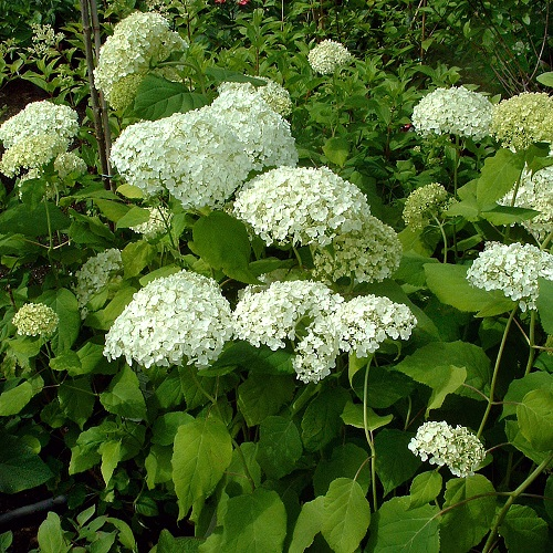 hydrangea arborescens 39 annabelle 39 hortensia online tuincentrum. Black Bedroom Furniture Sets. Home Design Ideas
