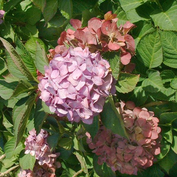 hydrangea macrophylla 39 bouquet rose 39 hortensia online tuincentrum. Black Bedroom Furniture Sets. Home Design Ideas
