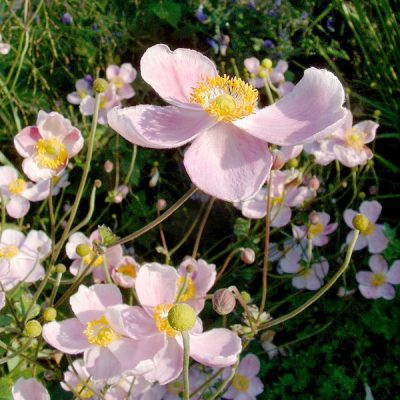 Anemone-hupehensis-september-charm