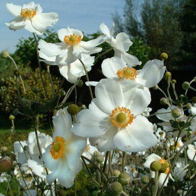 Anemone-hybride-honorine-jobert