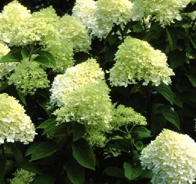 hydrangea paniculata 39 limelight 39 pluimhortensia online tuincentrum. Black Bedroom Furniture Sets. Home Design Ideas