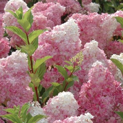 hydrangea serrata 39 bluebird 39 hortensia online tuincentrum. Black Bedroom Furniture Sets. Home Design Ideas